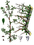 Мирра (Commiphora myrrha)