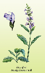 Шалфей лекарственный  (Salvia officinalis)