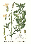 Вербена лекарственная (Verbena officinalis)